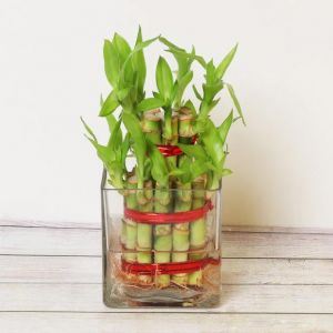 Two Layer Good Luck Bamboo Plant - Send Flowers to Kolkata