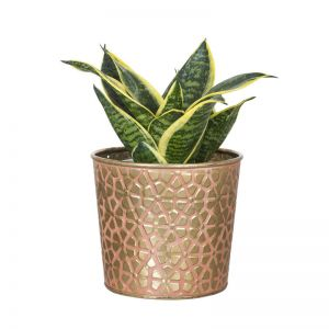 Snake Plant (Vipers bowstring hemp) - Send Plants Online