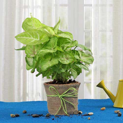 Buy And Send Plant Gifts Online - Send Gifts To India