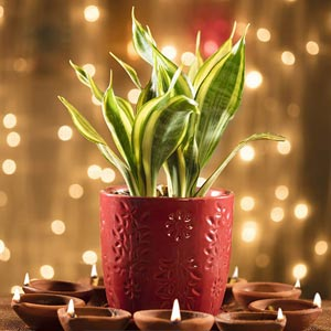Plants Diwali Gifts